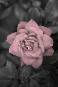 Bright rose with shading 1