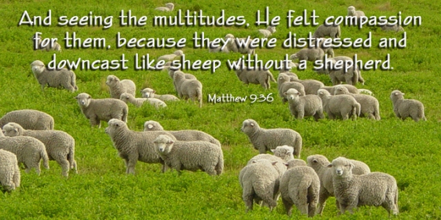081 sheep without a shepherd